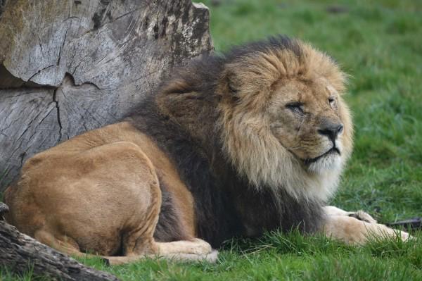 Bellewaerde perd lion Figaro